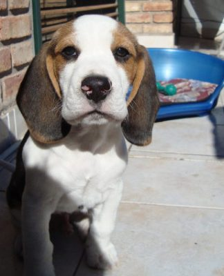 perro-beagle-Oliver en la terraza