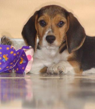 perro-beagle-Tomas-Medellin