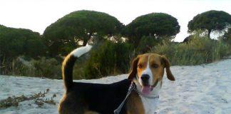 perro-beagle-CUCO-en-la-arena