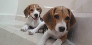 cachorros-beagle-3meses