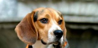perro beagle con ropa impermeable