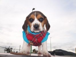 Hunter-cachorro-beagle-Mexico