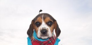 Hunter-cachorro-beagle-Mexico