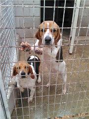 adopcion de perros beagles