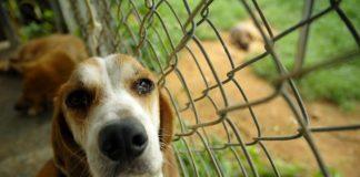 adoptar un beagle