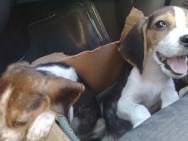 cachorros-beagle-Boby-Roby
