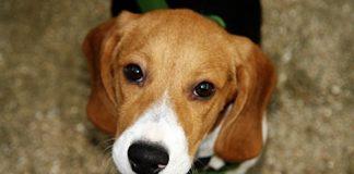 perrita-beagle-Nala