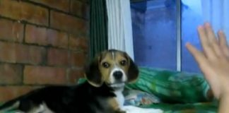 video-molestando-a-cachorro-beagle
