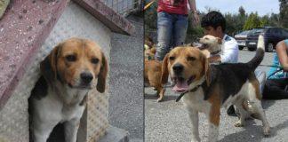 Rino-perro-beagle-en-adopcion