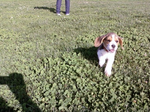 cachorrita-beagle-Sofia-Chile