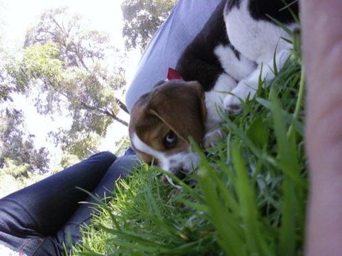 cachorrita-beagle en la hierba