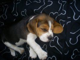 cachorrita-beagle-Sofia, durmiendo