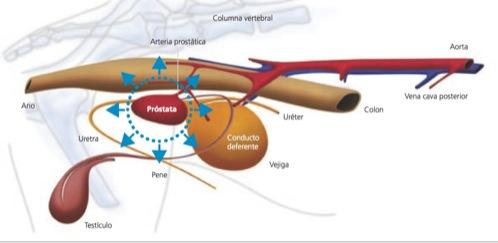 hipertrofia de prostata en perros