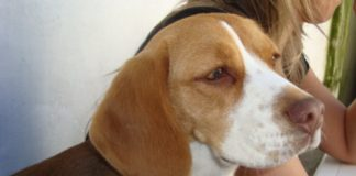 perrita-beagle-Luna-Buenos-Aires