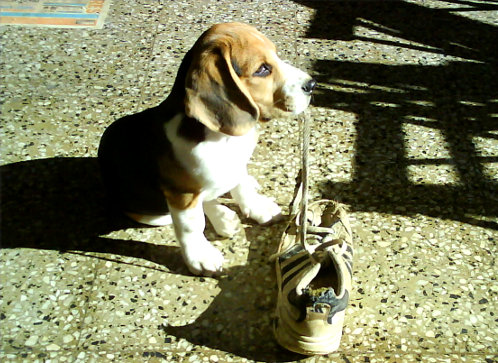 cachorro-beagle-travieso