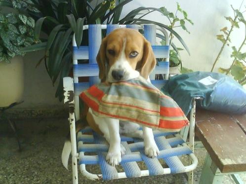 perro-beagle-Frodo-con-zapatilla