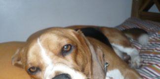 beagle-Felipe-Buenos Aires