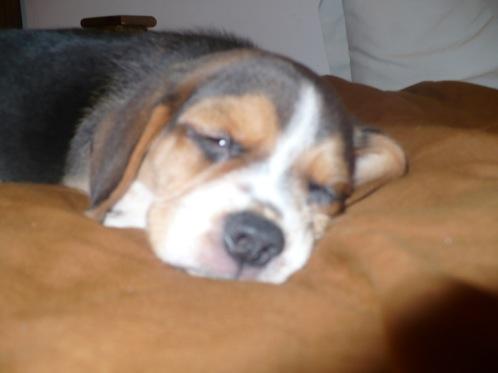 cachorro-beagle-Felipe-Argentina