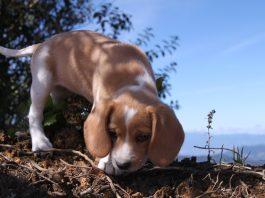 Pulguita-beagle-bicolor-Costa-Rica