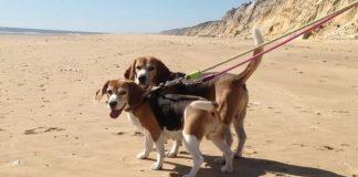 blog de perros beagle