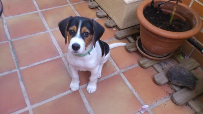 cachorro-beagle-Nano-sentado