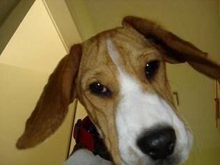 Chico el beagle del jard n perros beagle for Ahuyentar perros del jardin