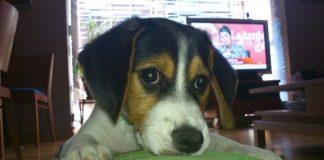primer plano cachorro beagle Nano