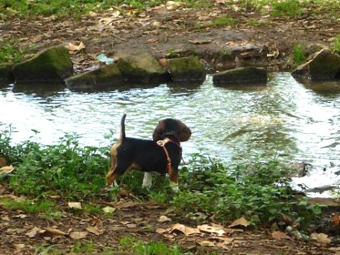 beagle-Kido-Veracruz-arroyo