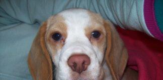 Sorpresa-beagle-bicolor-Colombia