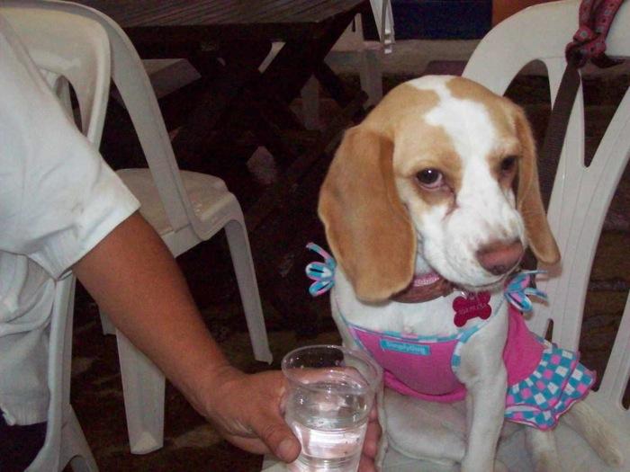 beagle-Sorpresa-con-ropa