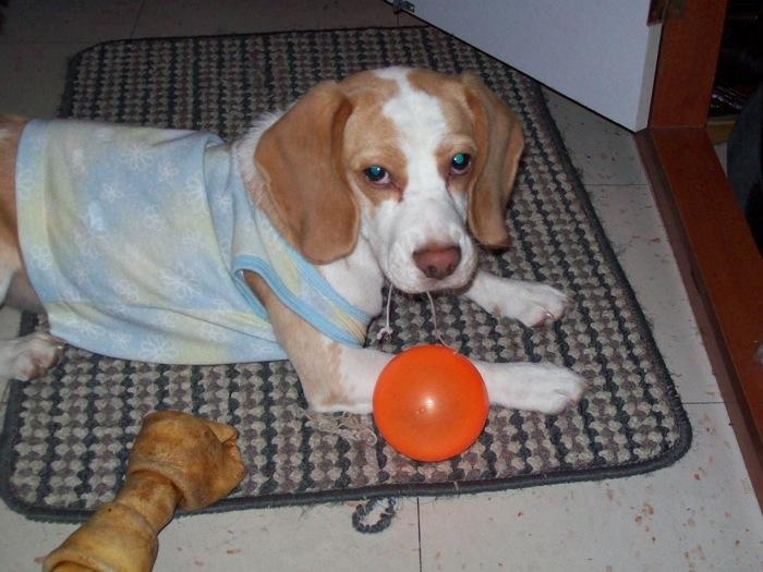 beagle-Sorpresa-pelota
