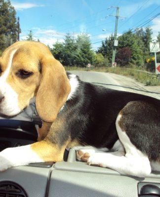 perrita-beagle-Luna-coche