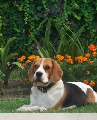 beagle-Rene-cuida-el-jardin