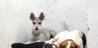beagles-Camila-Gigi-schnauzer-Rapunzel