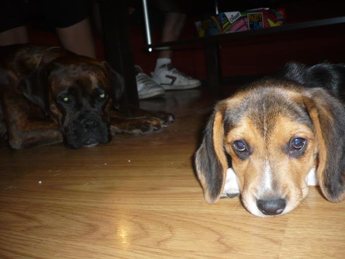 beagle-Lolo-Asturias-echado