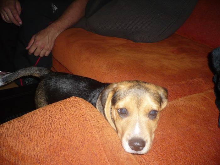 beagle-Lolo-Asturias-sofa