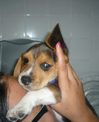 cachorro-beagle-Lolo-Asturias