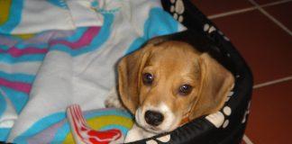cachorro-beagle-Neo-canasto