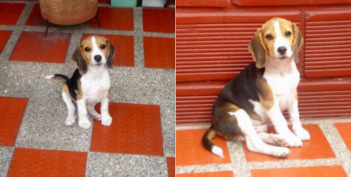 cachorro-beagle-Pupy-patio