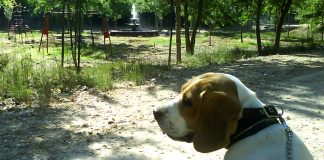 la_granja-beagle-Chester