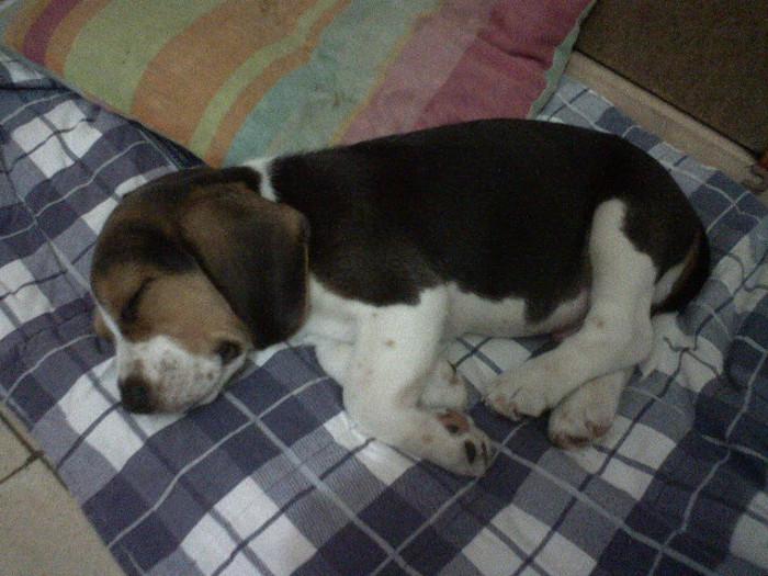 beagle-Jeremias-Colombia-durmiendo