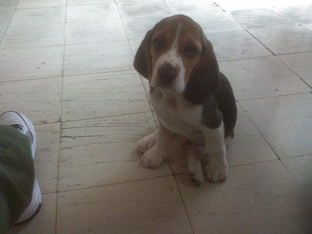 beagle-Jeremias-Colombia-sentado