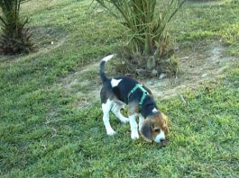 cachorro beagle suelto jardín