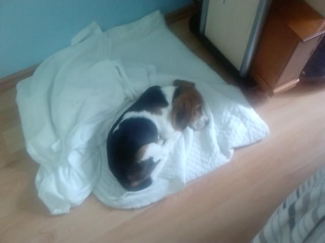 beagle-Elliot-dormido