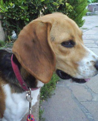 beagle-Luna-Mexico