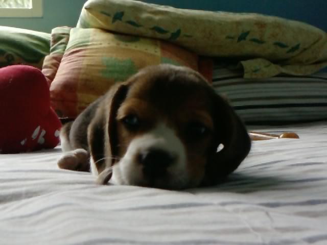 cachorro-beagle-Elliot