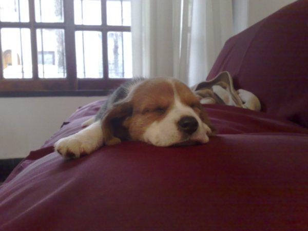 beagle-Galo-Argentina-dormido