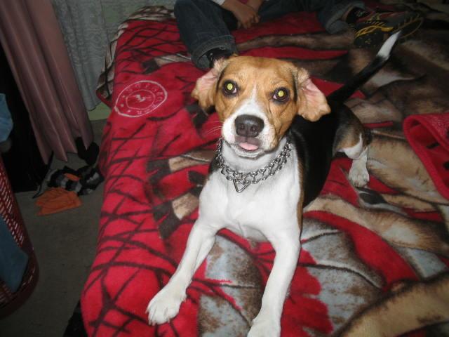 beagle-Simon-Colombia-en-la-cama