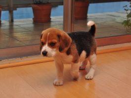 cachorro-beagle-Galo-Argentina