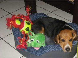 Beagle-Luka_Eduardo-Costa_Rica